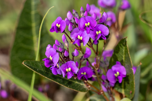 A close look at purple pea flowers