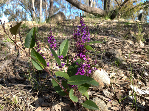 A spray of purple flowers surrounded by wide green leaves sit in open bushland under a blue sky